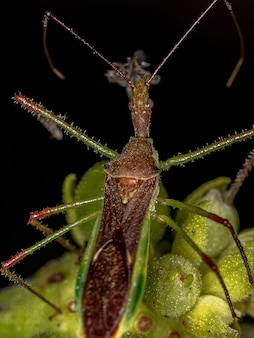 파리를 잡아먹는 harpactorini 부족의 성인 암살자 벌레