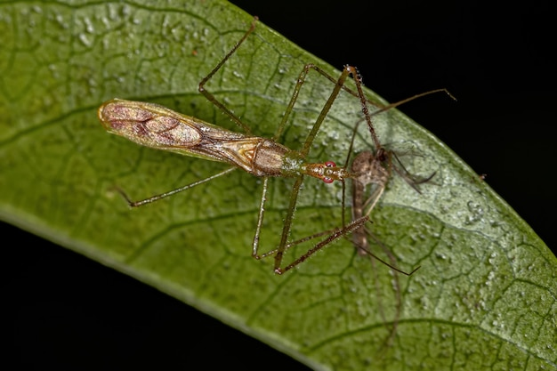 Adult assassin bug of the tribe harpactorini preying on a adult culicine mosquito of the genus culex