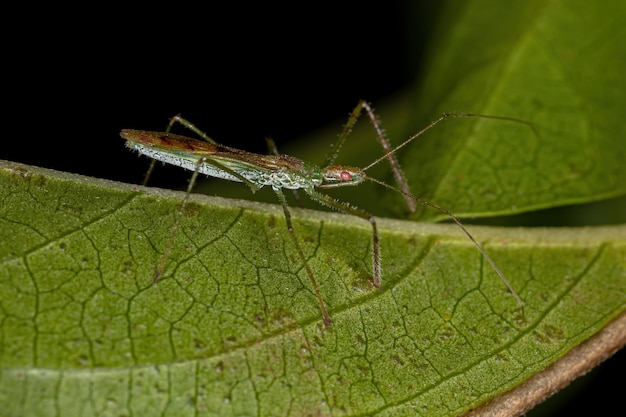 Adult assassin bug of the tribe harpactorini