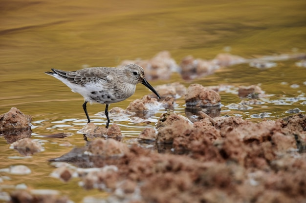 Adult autumn migrant dunlin calidris alpina