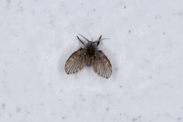 Взрослая мотылек мошка вида clogmia albipunctata