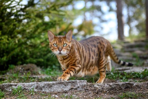 夏の屋外の自然の背景に大人のベンガル猫。