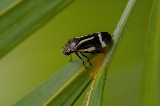 Взрослый черный лягушонок вида notozulia entreriana