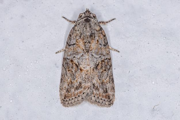 Adult black-olive caterpillar moth of the species garella nilotica