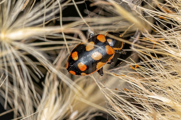 Adult black-spotted lady beetle of the species eriopis connexa