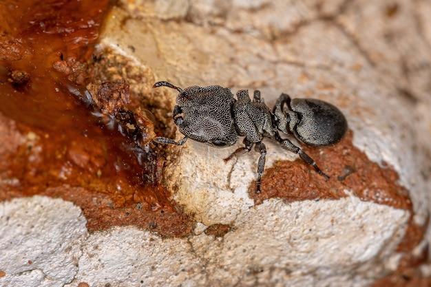 Adult black turtle ant of the genus cephalotes