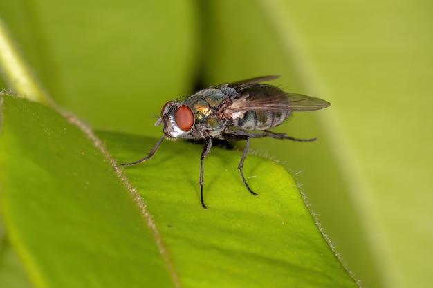 가족 calliphoridae의 성인 타격 파리