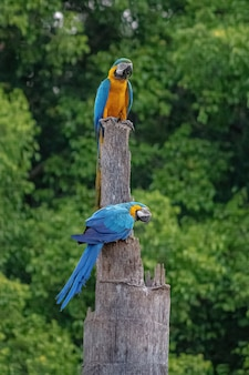 Adult blue-and-yellow macaw of the species ara ararauna