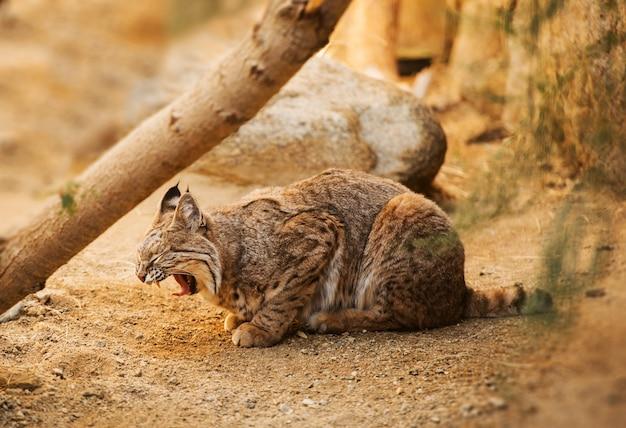 Взрослый bobcat