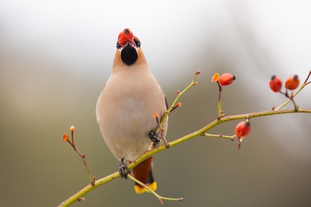 Adult bohemian waxwing stuffing itself with frozen rosehip on bush in wintertime
