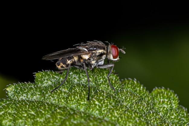 Adult brachyceran fly of the suborder brachycera