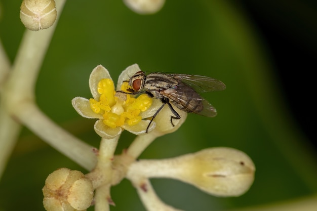 Adult bristle fly of the family tachinidae on cinnamon flowers
