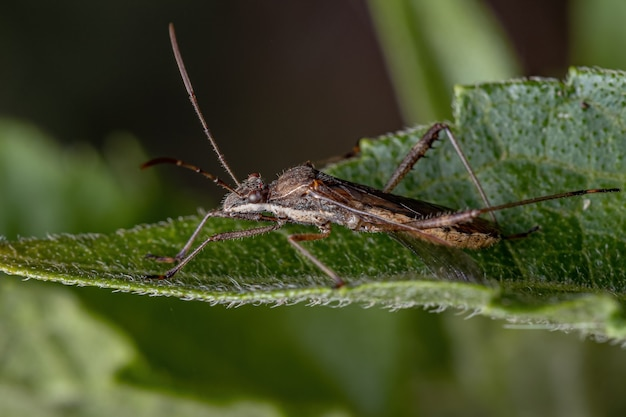 Adult broad-headed bug of the species neomegalotomus parvus