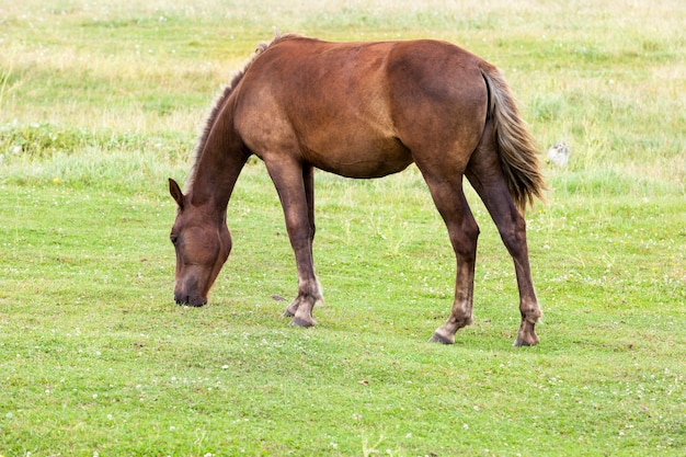 Adult brown horse grazing in a field with green grass