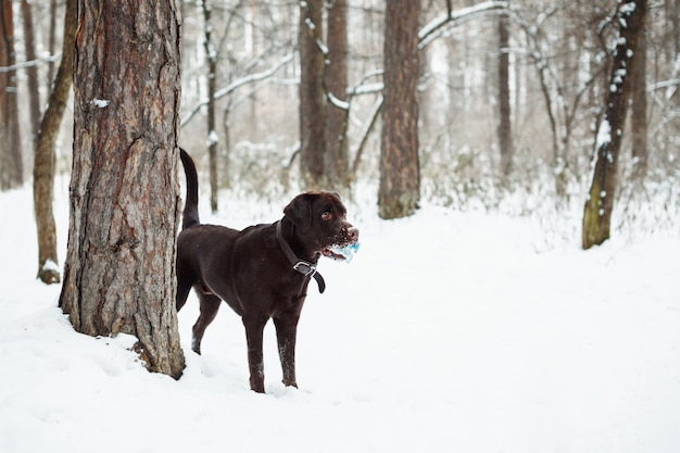 Adult brown labrador retriever playing