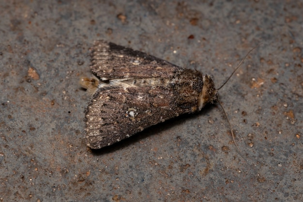 Adult brown moth of the genus condica