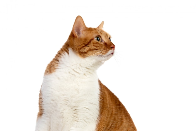 Adult brown and white cat