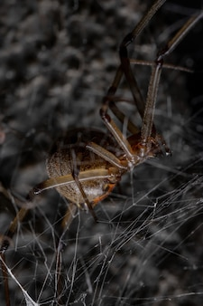 Adult brown widow of the species latrodectus geometricus