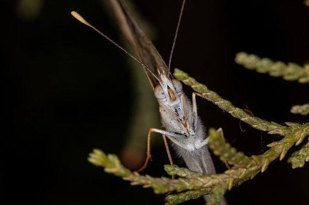 Взрослые щетконогие бабочки семейства nymphalidae
