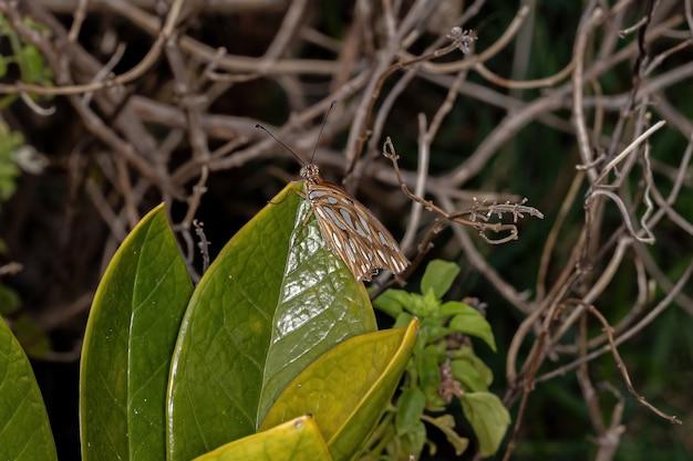ディオーネ属の大人のタテハチョウ