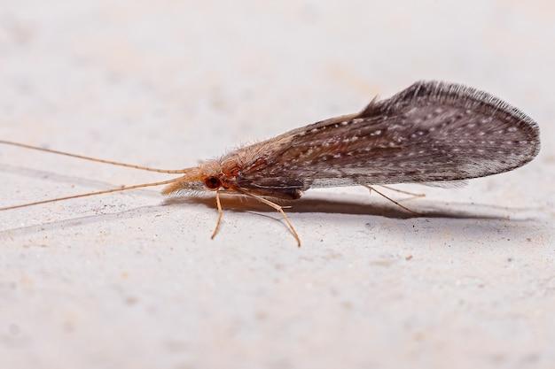 트리코프테라(trichoptera)목의 성충 캐디플라이 곤충