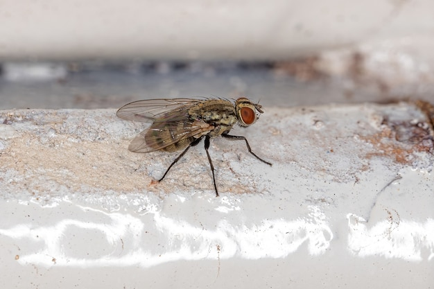 Adult calyptrate fly of the zoosubsection calyptratae