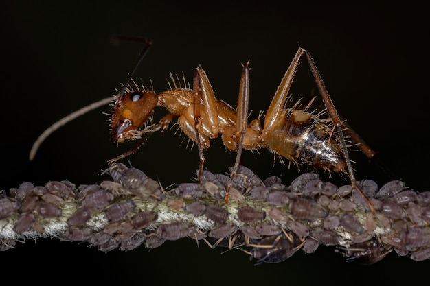 Adult carpenter ant of the genus camponotus interacting with aphids in a plant