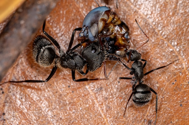 Adult carpenter ant of the genus camponotus preying on a insect