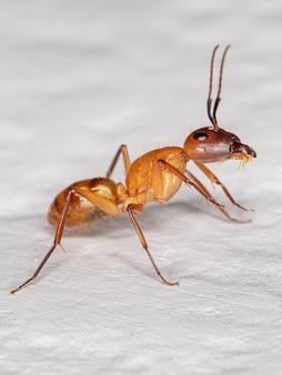 Adult carpenter ant of the genus camponotus