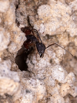 Adult carpenter ant of the species camponotus rufipes