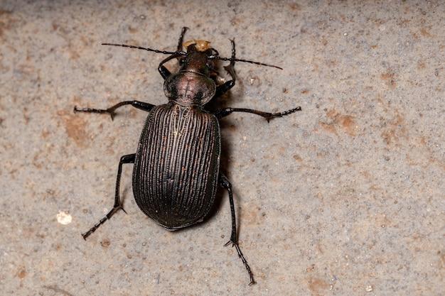 Взрослая гусеница-охотник жук вида calosoma alternans, поедающий часть брюшка кузнечика