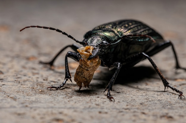 Adult caterpillar hunter beetle of the species calosoma alternans eating part of a grasshopper abdomen