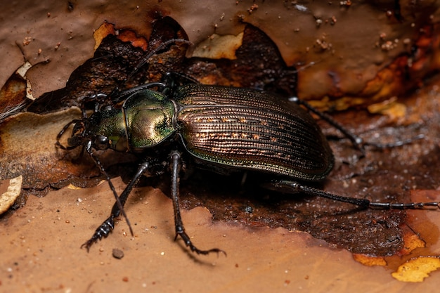 Adult caterpillar hunter beetle of the species calosoma alternans preying on a moth
