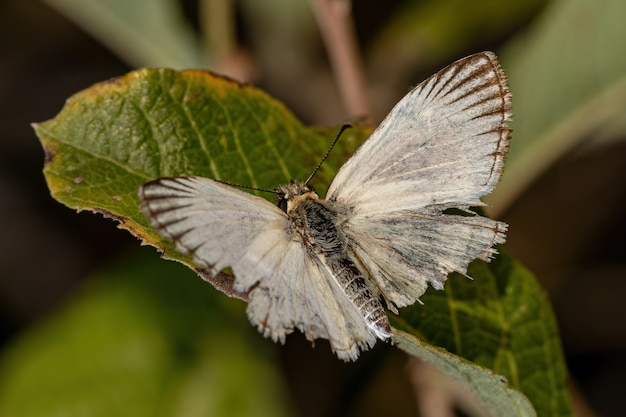 Adult checkered skipper of the genus heliopetes