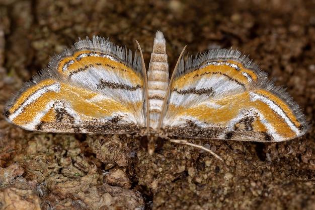 Взрослый китайский мотылек подсемейства acentropinae