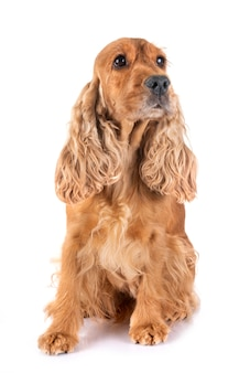 Adult cocker spaniel
