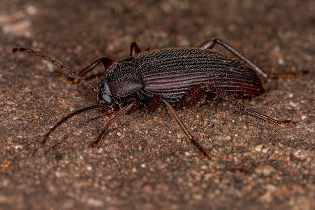 Alleculini 부족의 성체 빗발톱 검은 딱정벌레