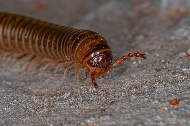 Взрослые обыкновенные коричневые многоножки отряда spirostreptida