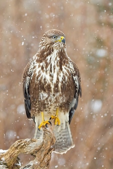 Adult common buzzard, buteo buteo, hunting in the forest while snowing. concentrated bird of prey sitting and observing snowflakes. perched dominant raptor watching the snow in vertical composition.