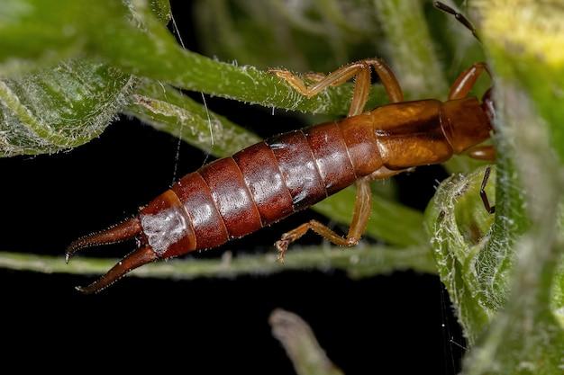 クギヌキハサミムシ科の成虫の一般的なハサミムシ