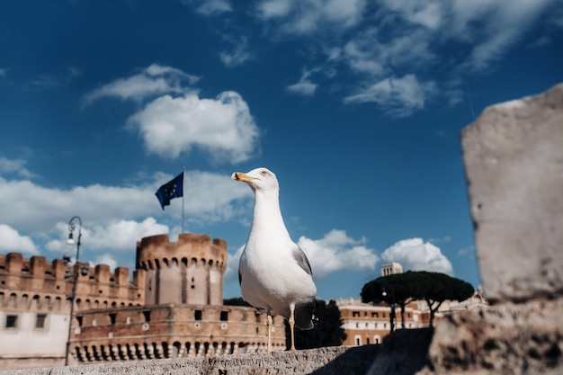 An adult common gull or mew gull standing on a roof, colosseum of rome on the background