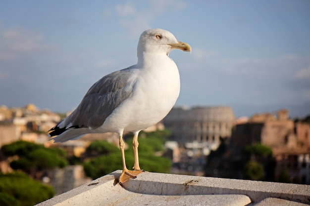 An adult common gull or mew gull standing on a roof, colosseum of rome