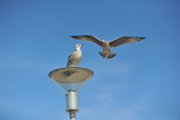 An adult common gull or mew gull standing on a roof