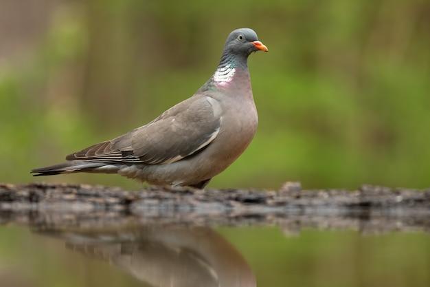Взрослый обыкновенный лесной голубь стоит над прудом летом