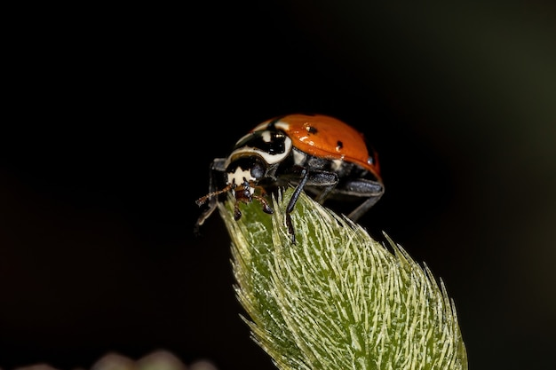 Adult convergent lady beetle of the species hippodamia convergens