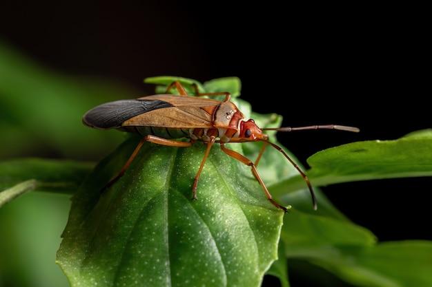 바질 잎에 dysdercus 속의 성인 면화 염색기 버그