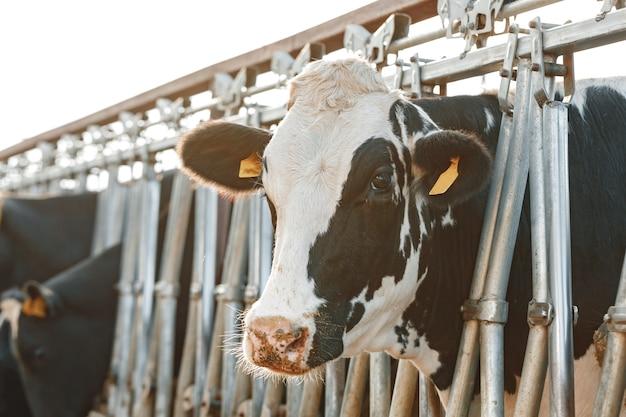 농장에서 마구간에 서있는 성인 소