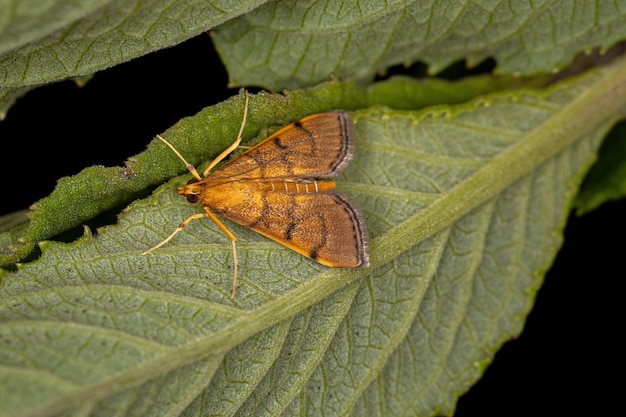 Взрослая бабочка crambid moth семейства crambidae