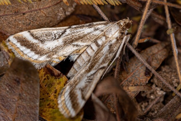 Взрослая бабочка crambid snout из семейства crambidae