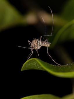 Culicinae 아과의 성인 culicine 모기 곤충